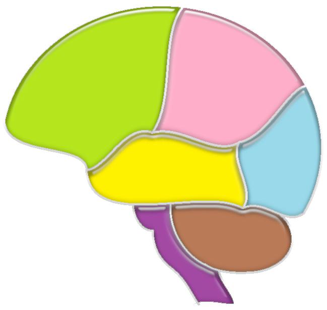 脳の全体像(側面)艶JPG